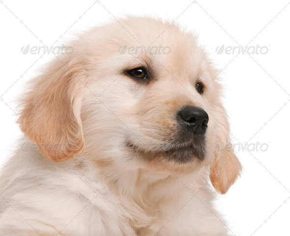 Close-up of Golden Retriever puppy, 20 weeks old, in front of white background - Stock Photo - Images