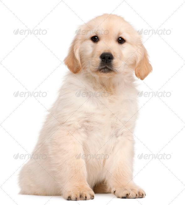 Golden Retriever puppy, 20 weeks old, sitting in front of white background - Stock Photo - Images