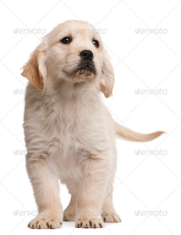 Golden Retriever puppy, 20 weeks old, standing in front of white background - Stock Photo - Images