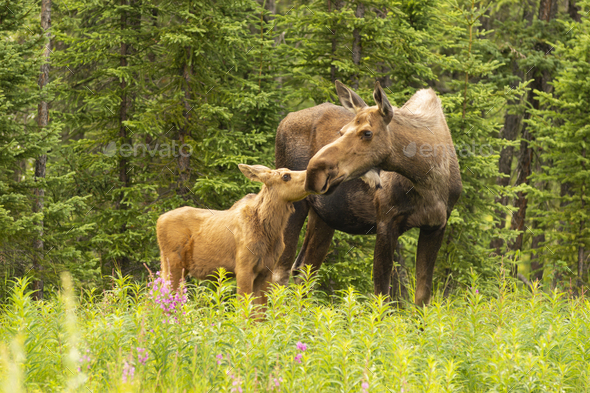 Moose Calf Touches His Nose to the Mouth of his Mother Cow - Stock Photo - Images