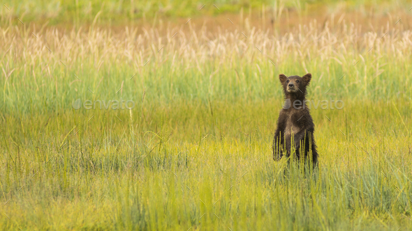 Grizzly Bear Cub Stands to See where Mom went after getting Seperated - Stock Photo - Images