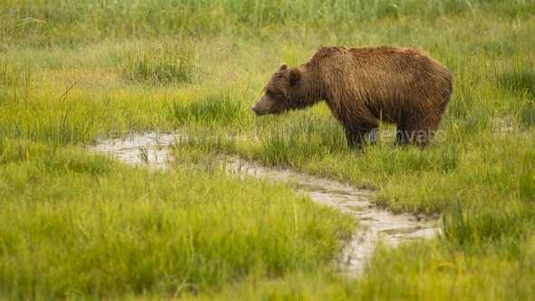 Large Female Grizzly Bear pauses while getting a drink from the creek - Stock Photo - Images