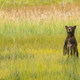 Grizzly Bear Cub Stands to See where Mom went after getting Seperated - PhotoDune Item for Sale