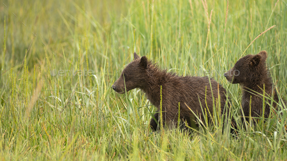 Grizzly Bear Cubs Rush to See where Mom went after getting Seperated - Stock Photo - Images