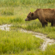 Large Female Grizzly Bear pauses while getting a drink from the creek - PhotoDune Item for Sale