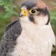 Lanner Falcon - PhotoDune Item for Sale