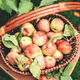 Fresh Ripe apples in the basket. Autumn food season concept. Top view - PhotoDune Item for Sale