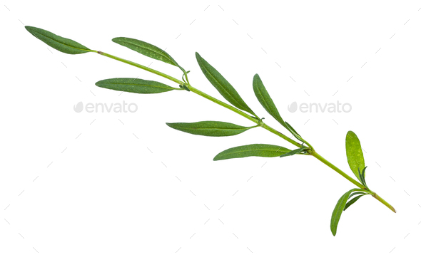 twig of fresh hyssop (hyssopus) herb isolated - Stock Photo - Images