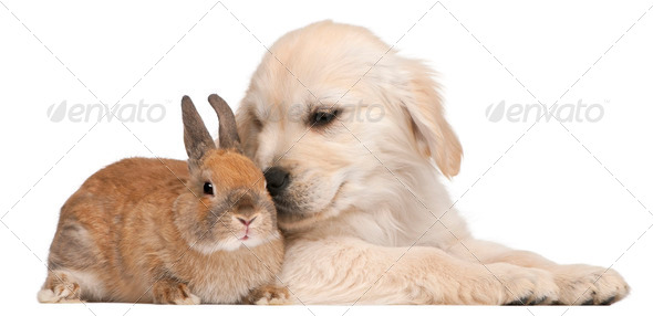 Golden Retriever puppy, 20 weeks old, and a rabbit in front of white background - Stock Photo - Images