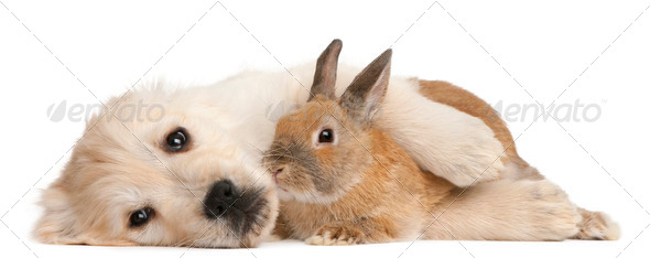Golden Retriever puppy, 20 weeks old, and a rabbit lying in front of white background - Stock Photo - Images