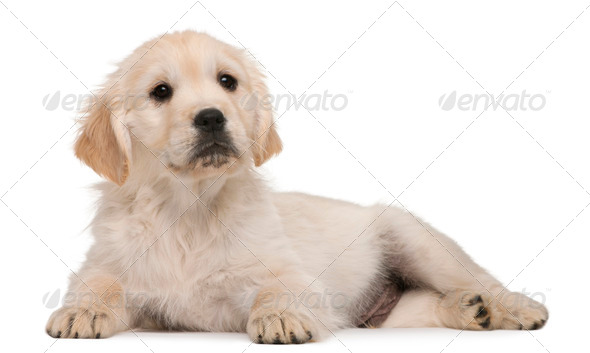 Golden Retriever puppy, 20 weeks old, lying in front of white background - Stock Photo - Images