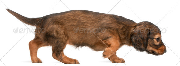Dachshund puppy, 5 weeks old, walking in front of white background - Stock Photo - Images