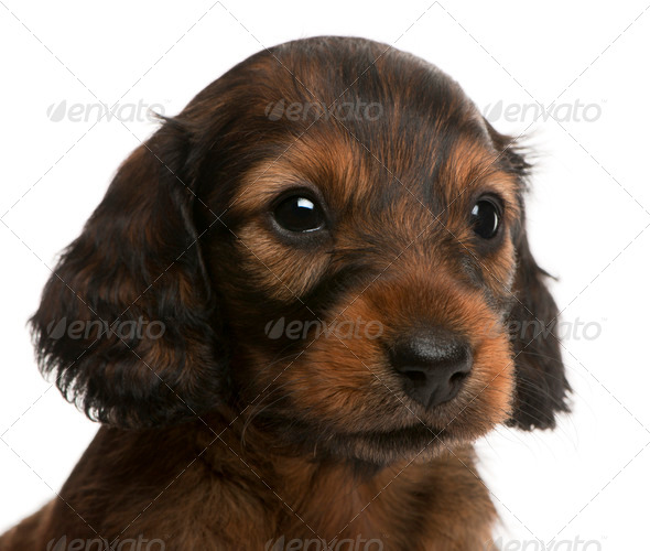 Close-up of Dachshund puppy, 5 weeks old, in front of white background - Stock Photo - Images