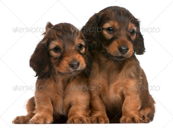 Dachshund puppies, 5 weeks old, sitting in front of white background - Stock Photo - Images