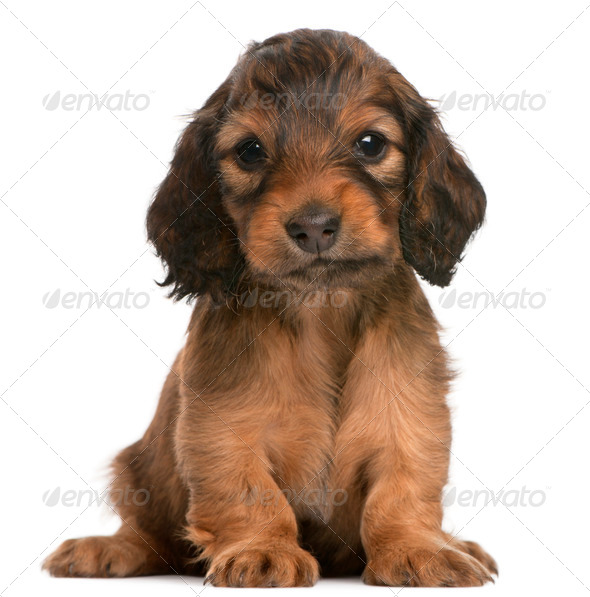 Dachshund puppy, 5 weeks old, sitting in front of white background - Stock Photo - Images