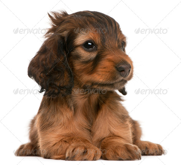 Dachshund puppy, 5 weeks old, lying in front of white background - Stock Photo - Images