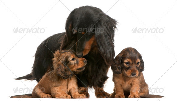 Mother Dachshund, 4 years old, and her puppies, 5 weeks old, in front of white background - Stock Photo - Images