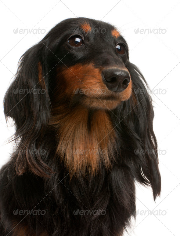 Close-up of Dachshund, 4 years old, in front of white background - Stock Photo - Images