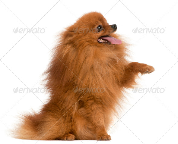 Spitz, 3 years old, with paw up in front of white background - Stock Photo - Images