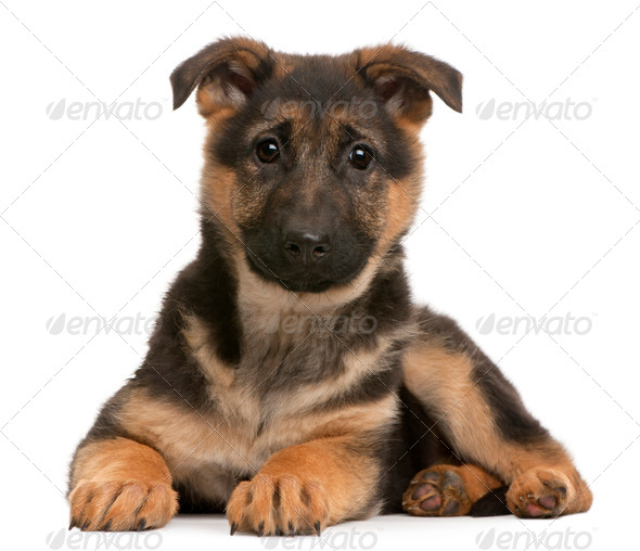 German Shepherd puppy, 3 months old, lying in front of white background - Stock Photo - Images