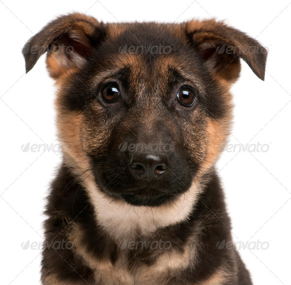 Close-up of German Shepherd puppy, 3 months old, in front of white background - Stock Photo - Images