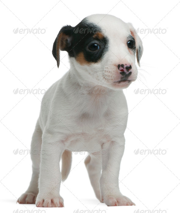 Jack Russell Terrier puppy, 7 weeks old, standing in front of white background - Stock Photo - Images