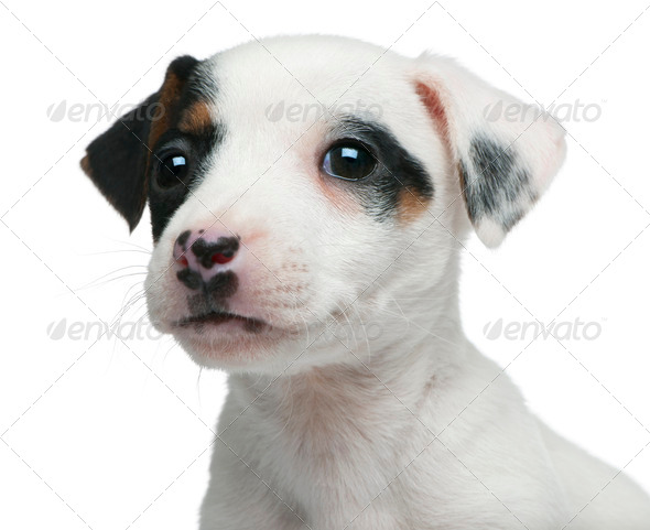 Close-up of Jack Russell Terrier puppy, 7 weeks old, in front of white background - Stock Photo - Images