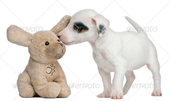 Jack Russell Terrier puppy, 7 weeks old, sniffing stuffed animal in front of white background - Stock Photo - Images