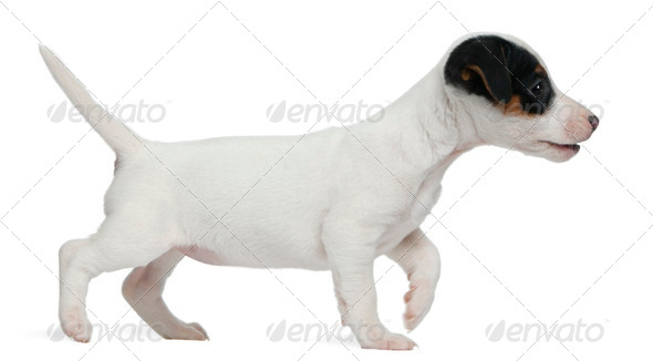 Jack Russell Terrier puppy, 7 weeks old, walking in front of white background - Stock Photo - Images
