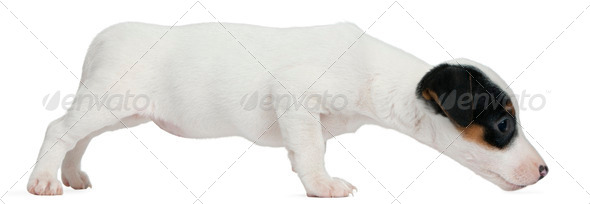 Jack Russell Terrier puppy, 7 weeks old, sniffing in front of white background - Stock Photo - Images