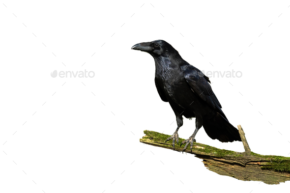 Alert common raven sitting on a bough covered in green moss isolated on white - Stock Photo - Images