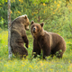 Two brown bears courting on a blooming glade with flowers in summer nature - PhotoDune Item for Sale