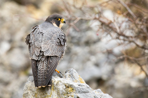 Dominant peregrine falcon standing on rock from back - Stock Photo - Images