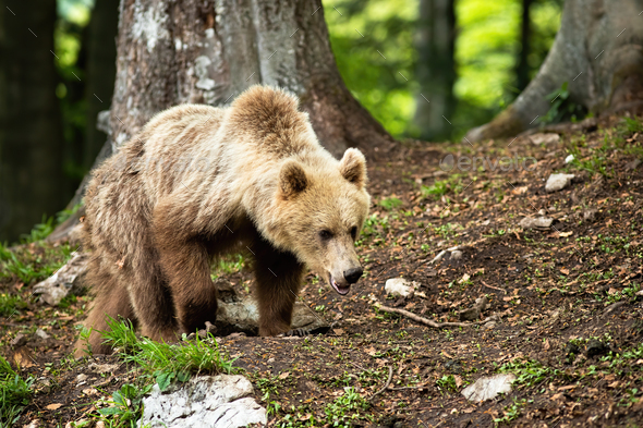 Young brown bear walking in forest in summer nature - Stock Photo - Images