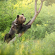 Majestic brown bear climbing on tree in summer nature - PhotoDune Item for Sale