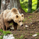 Young brown bear walking in forest in summer nature - PhotoDune Item for Sale