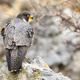 Dominant peregrine falcon standing on rock from back - PhotoDune Item for Sale
