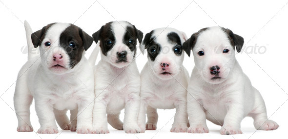 Jack Russell Terrier puppies, 5 weeks old, in front of white background - Stock Photo - Images
