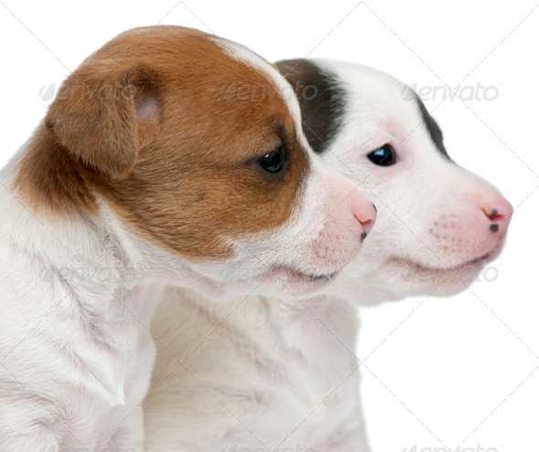 Close-up of Jack Russell Terrier puppies, 5 weeks old, in front of white background - Stock Photo - Images