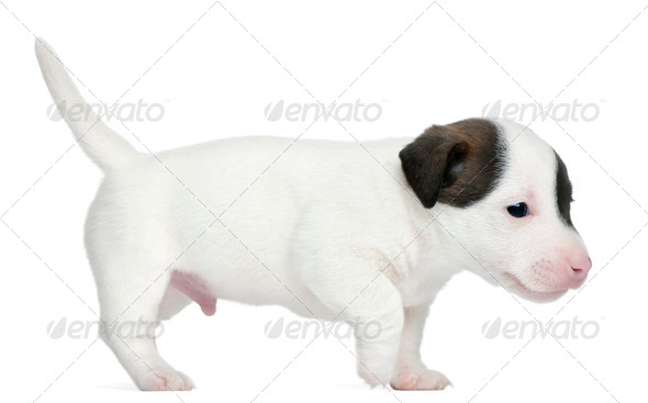 Jack Russell Terrier puppy, 5 weeks old, standing in front of white background - Stock Photo - Images