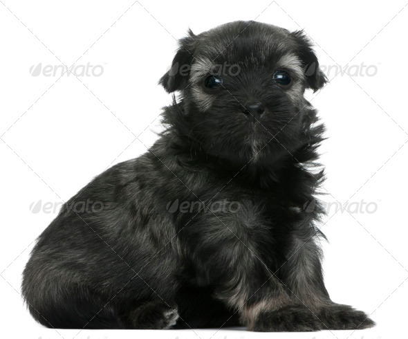 L??wchen or Petit Chien Lion puppy, 3 weeks old, sitting in front of white background - Stock Photo - Images