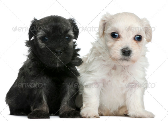 L??wchen or Petit Chien Lion puppies, 3 weeks old, sitting in front of white background - Stock Photo - Images