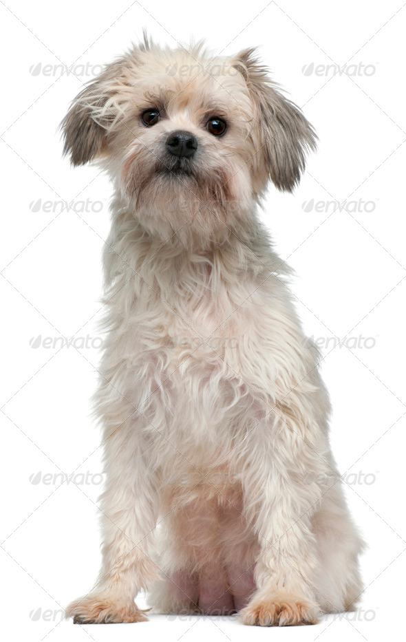 L??wchen or Petit Chien Lion, 3 years old, sitting in front of white background - Stock Photo - Images