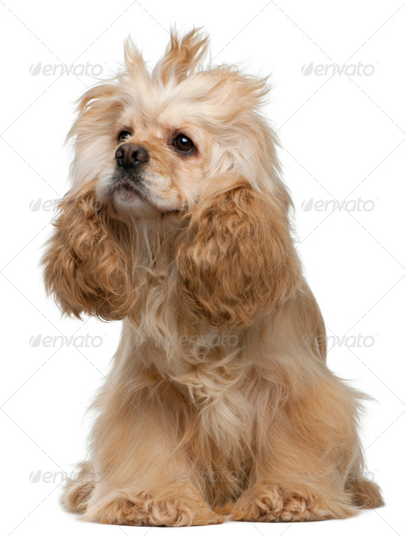 American Cocker Spaniel, 3 years old, sitting in front of white background - Stock Photo - Images