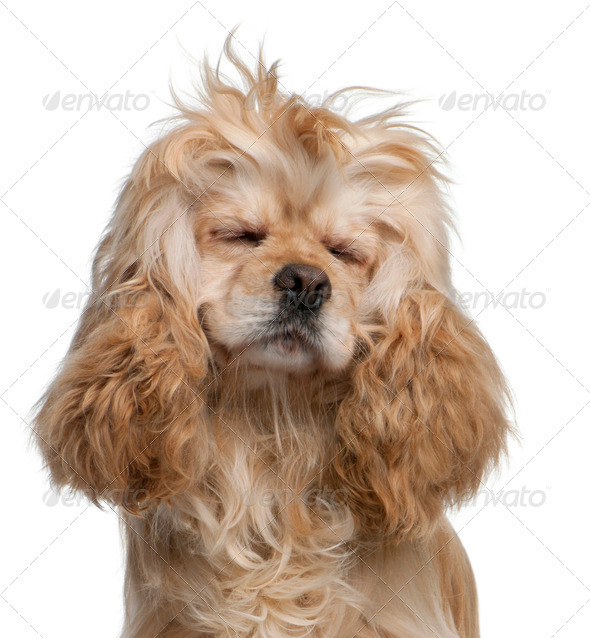 American Cocker Spaniel, 3 years old, with eyes closed in front of white background - Stock Photo - Images