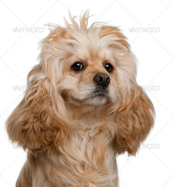 American Cocker Spaniel, 3 years old, in front of white background - Stock Photo - Images
