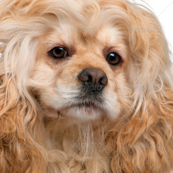Close-up of American Cocker Spaniel, 3 years old, in front of white background - Stock Photo - Images