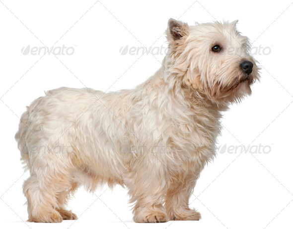West Highland White Terrier, 3 years old, standing in front of white background - Stock Photo - Images