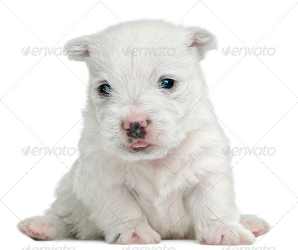 West Highland White Terrier puppy, 4 weeks old, sitting in front of white background - Stock Photo - Images