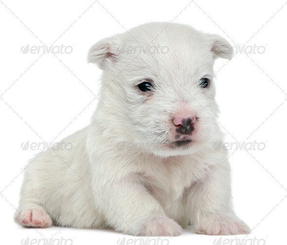 West Highland White Terrier puppy, 4 weeks old, lying in front of white background - Stock Photo - Images